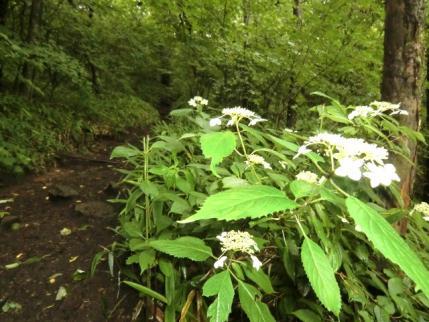 アジサイ咲く登山道