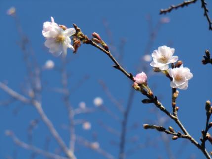 登山口の桜
