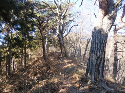 松の木の道