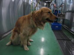 202若葉区原町ゴールデンリトリーバーおす大型犬黄ノミ取り首輪+207_convert_20110203203244