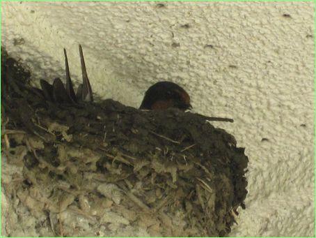 一生懸命巣作りをしています。