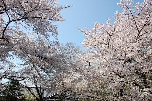 los cerezos 1