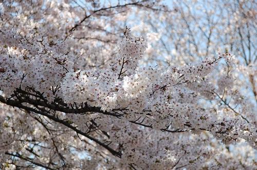 los cerezos 2