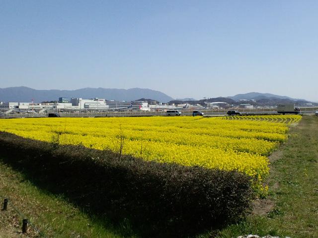 福岡空港の菜の花