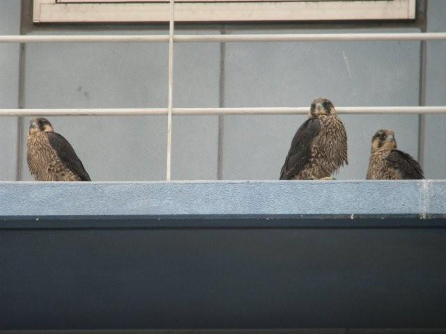 Three_Young_Peregrines