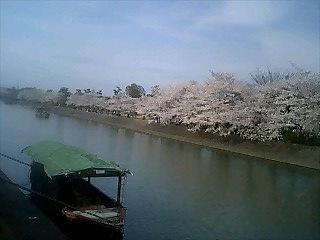 tounoshimasakura.jpg