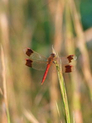 蜻蛉ミヤマアカネ131012FC2 (2)
