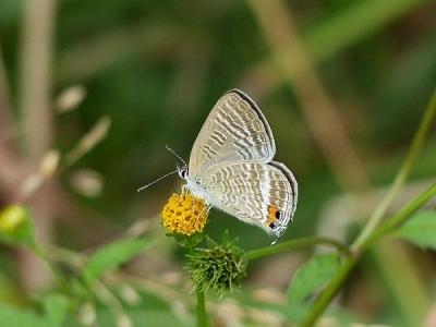 蝶ウラナミシジミ131016FC2 (3)