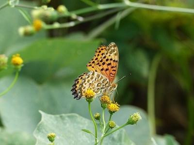 蝶ヒョウモンチョウの仲間131016FC2 (4)