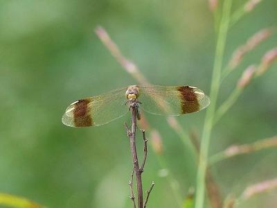蜻蛉ミヤマアカネ131016FC2 (2)