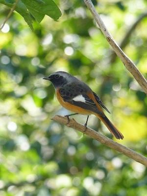 鳥ジョウビタキ131028FC2 (82)T済、S済