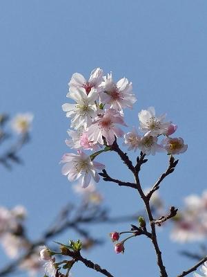 ジュウガツザクラ131117神代植物公園 (3)T済、S済