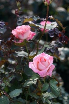 薔薇チェリッシュ131117神代植物公園 (2)T済、S済