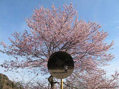 灰ヶ峰の桜