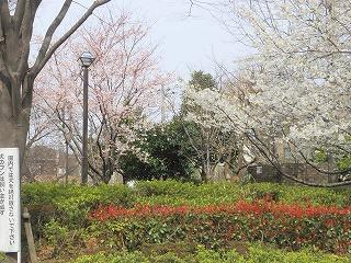 sakuranagakouen100331