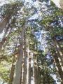 ⑧天空の杉