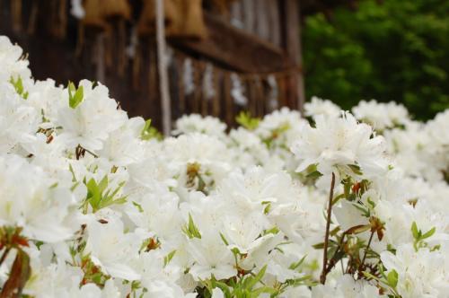 本名駅 神社の春