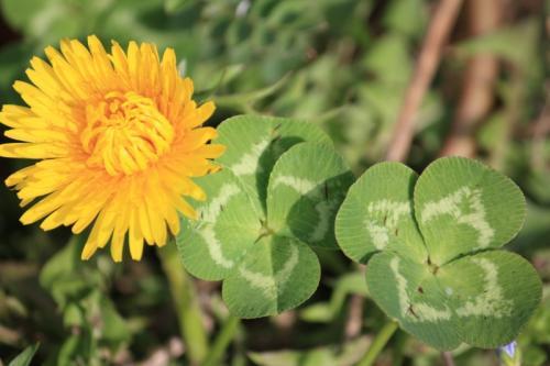 タンポポ&四つ葉のクローバー