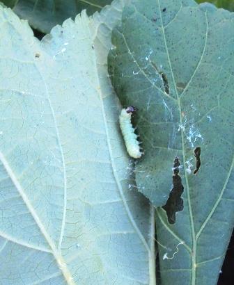 オクラの葉を巻く虫