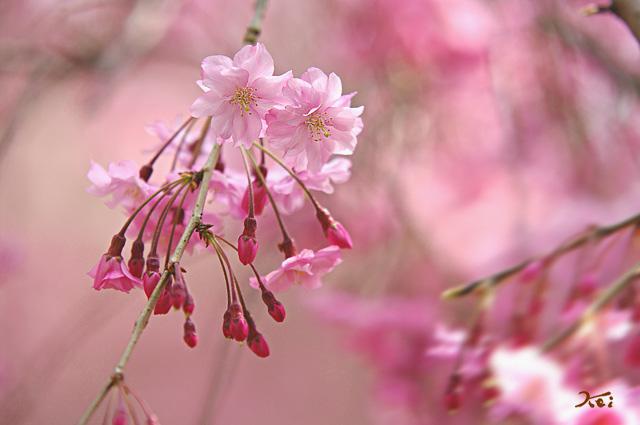 100410桜_群大06