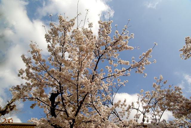 100410桜_群大14