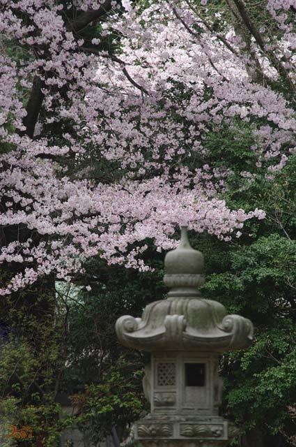 100411桜_蓮池02