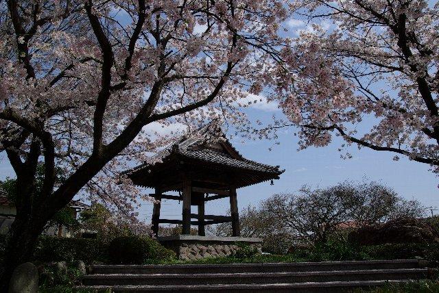 100411桜_常楽寺04