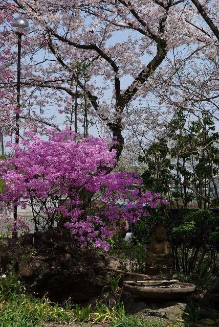 100411桜_常楽寺12