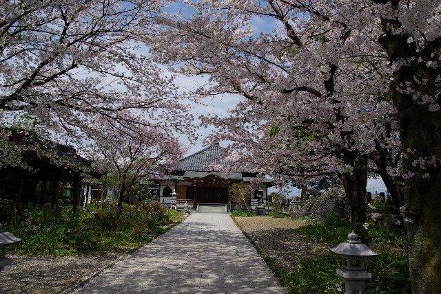 100411桜_常楽寺10