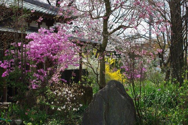 100411桜_常楽寺09