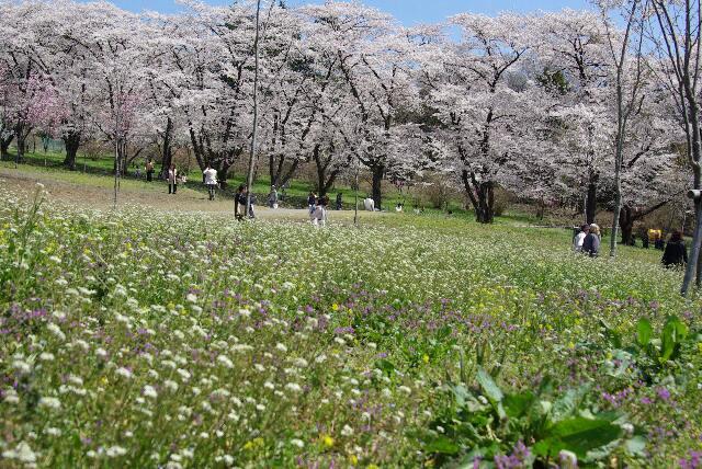 100418千本桜12