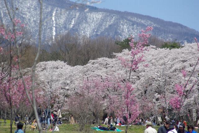 100418千本桜10