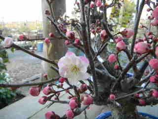 リバーシブルの梅