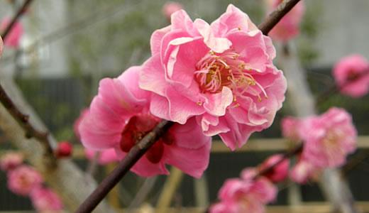 摂津岡本梅まつり2012-3