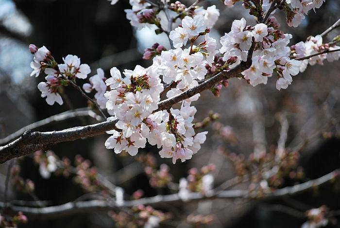 桜、撮ったままの色