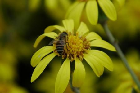 ツワブキと蜜蜂