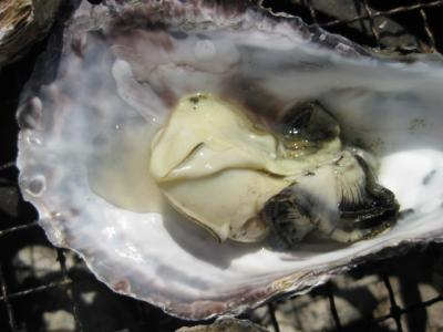 牡蠣焼く1