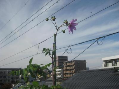 開花したダリア2