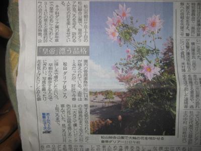 開花したダリア3