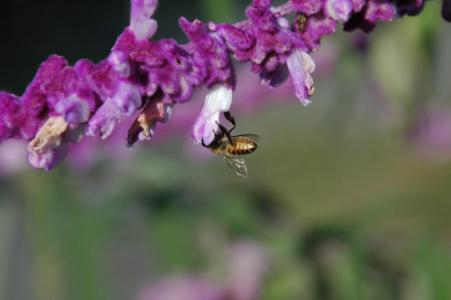 蜜蜂の訪花1