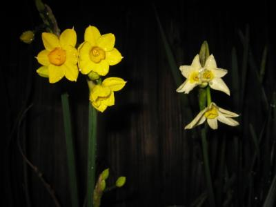 家の周辺の花 003