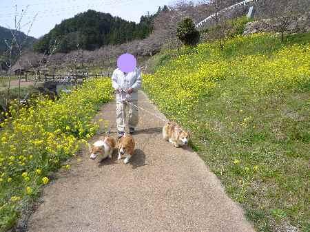 菜の花と3
