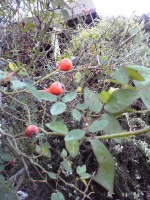 バラの赤い実