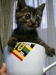 ティーカップ猫