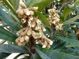 河川敷の枇杷の花