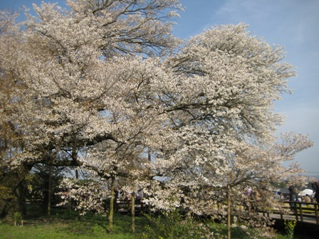 ⑭一心行の大桜
