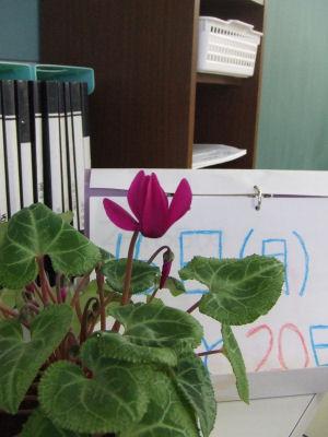 咲いたよシクラメンの花