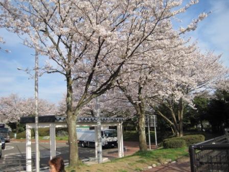 桜2IMG_0278