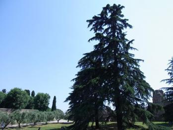 パラティーノ大きな木