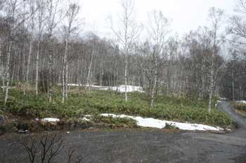 白樺林の雪